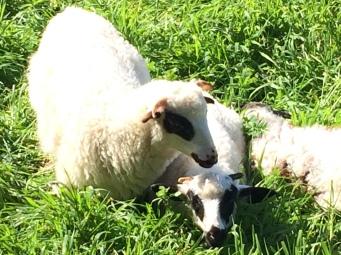 Sheep 3-7-16